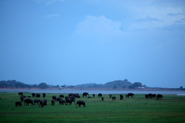 Elephants_gather_for_water_in_the_plains_at_Minneriya_National_Park_in_Sri_Lanka._It_is_one_of_the_largest_gathering_of_-_Flickr_-_Al_Jazeera_English