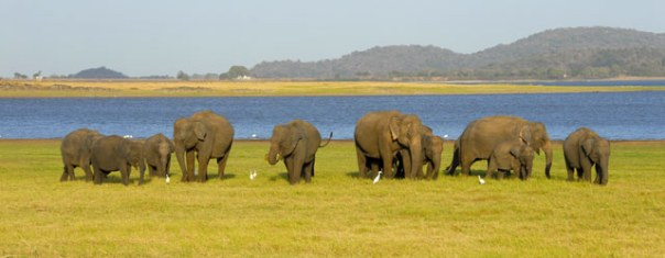 Minneriya-National-Park-Elephant-Gathering2